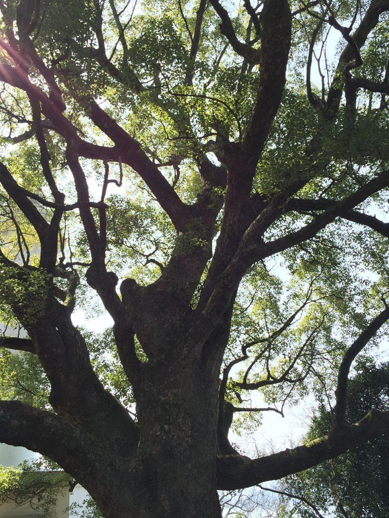 灯台の麓にある大木