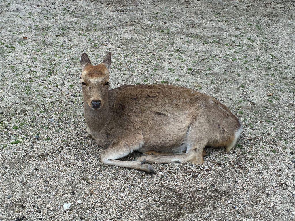 駅前の広場に鹿がいっぱいいる